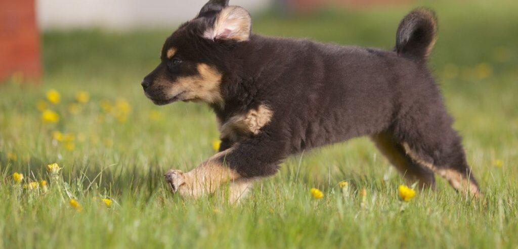 mastino tibetano cucciolo