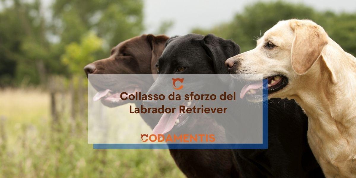 Collasso da sforzo nel Labrador (EIC)