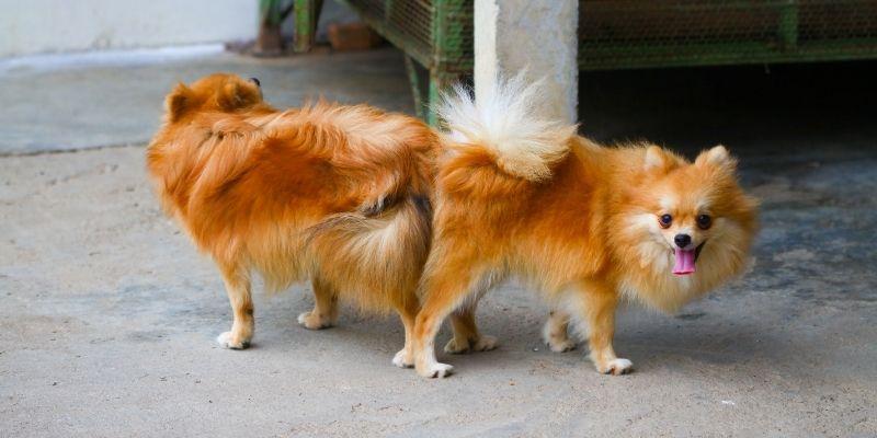accoppiamento cani nodo