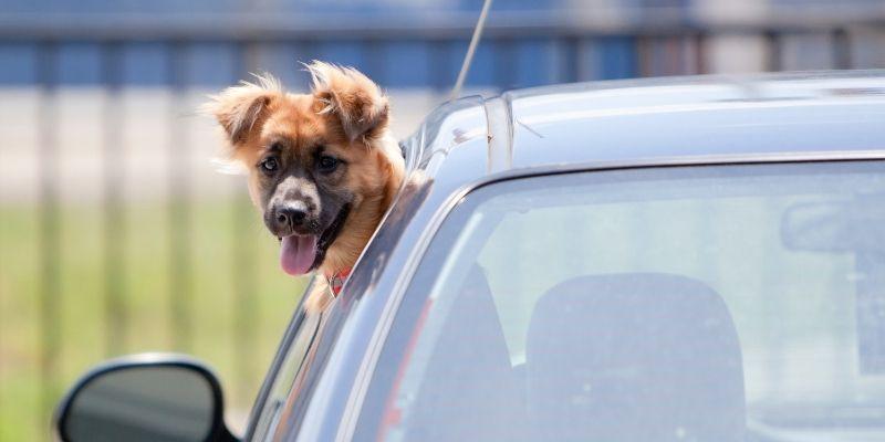 cane in auto al finestrino
