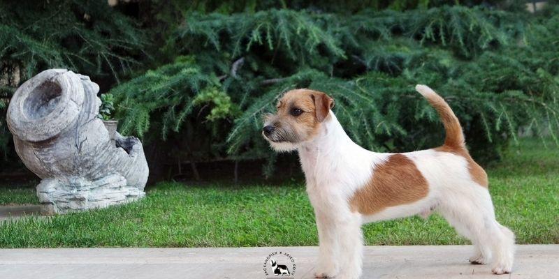 costo cane razza jack russell