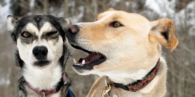 linguaggio dei cani testa occhi orecchie